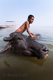 A boy washes water buffalo in the Ganges River, Varanasi, India.