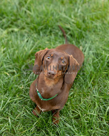A dachshund looking into the camera while on a grassy yard outdoors