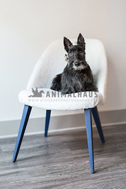 Small older dog sits in a white chair inside