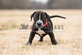 black and white puppy standing on wobbly legs
