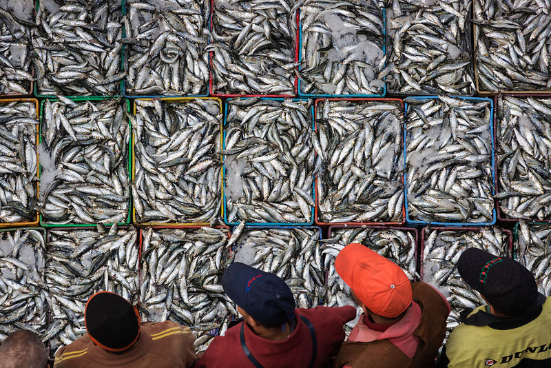 Fresh Caught Sardines Ready to be Auctioned at the Casablanca Fishing Port