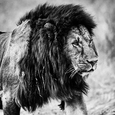 06524-Lion-The_big_male_Tanzania_2018_Laurent_Baheux