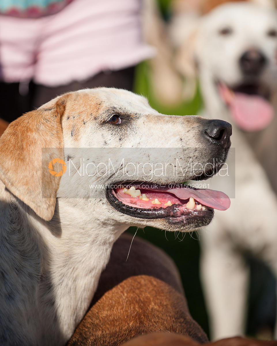 A Meynell and South Staffordshire Hunt foxhound
