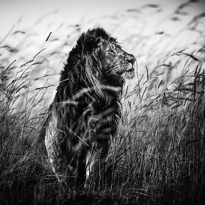 3759-Lion_in_the_grass_I_Kenya_2013_Laurent_Baheux