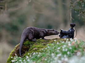 wild river Otter Lutra lutra inspecting camera River Thet Norfolk