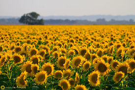Sunflower Field #3