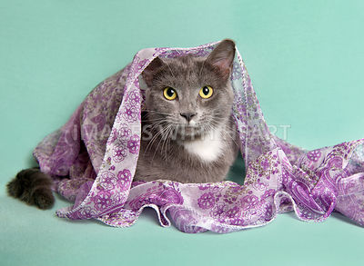 gray and white kitten peeking out from scarf.