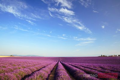 Lavender field in bloom, Provence, France
