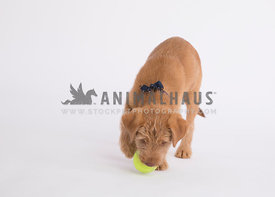 Cognac Puppy with ball in mouth in studio on white paper
