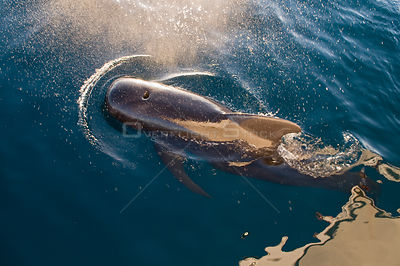 Short-finned pilot whale (Globicephala macrorhynchus) bow-riding in front of boat, Sea of Cortez, Baja California, Mexico
