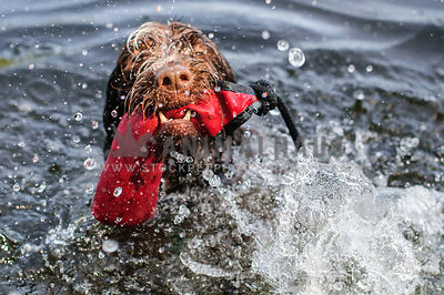 Wet dog swimming, playing and splashing in lake with toy