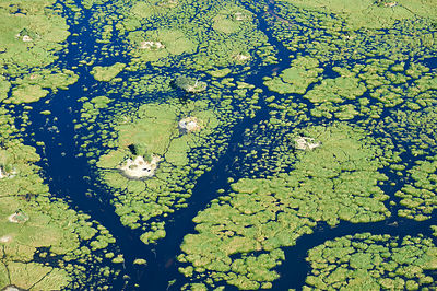 Aerial view of the Okavango delta with channels, lagoons, swamps and buffaloes (Syncerus caffer) on an island, Botswana, Africa