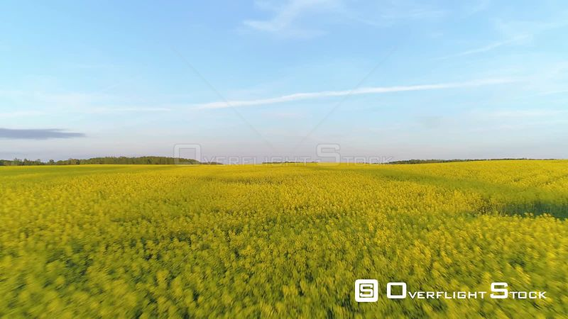 Aerial drone shot flying fast and low over a rapeseed field
