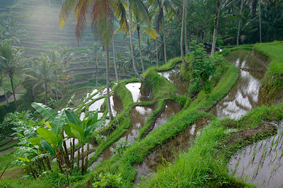 Terraced rice fields, Bali, Indonesia.