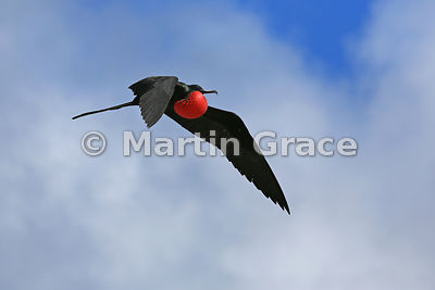 Great Frigatebird male (Fregata minor ridgwayi) flying with inflated gular pouch to attract a mate, Darwin Beach, Genovesa, G...