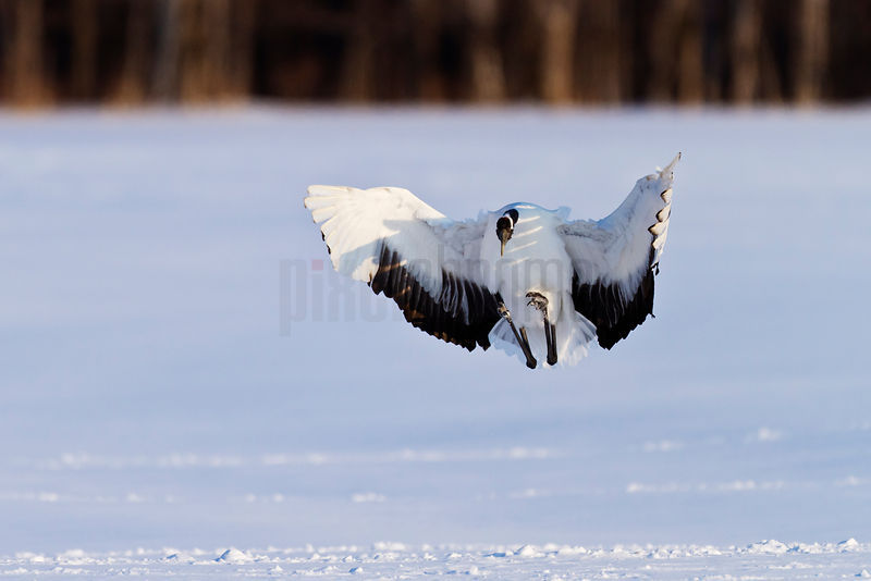 Red Crowned Crane Landing