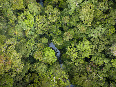 Batang Toru forests, North Sumatra, Indonesia.  This forest is home to a newly identified species of orangutan,