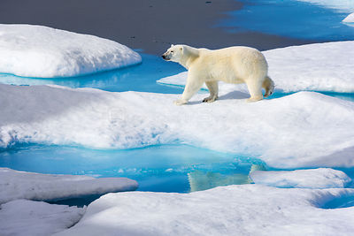 Young Polar bear (Ursus maritimus) walking across melting sea ice, Scott Inlet, Baffin Island, Canadian Arctic, August. Vulne...