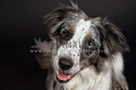 low key head shot portrait of blue merle border collie
