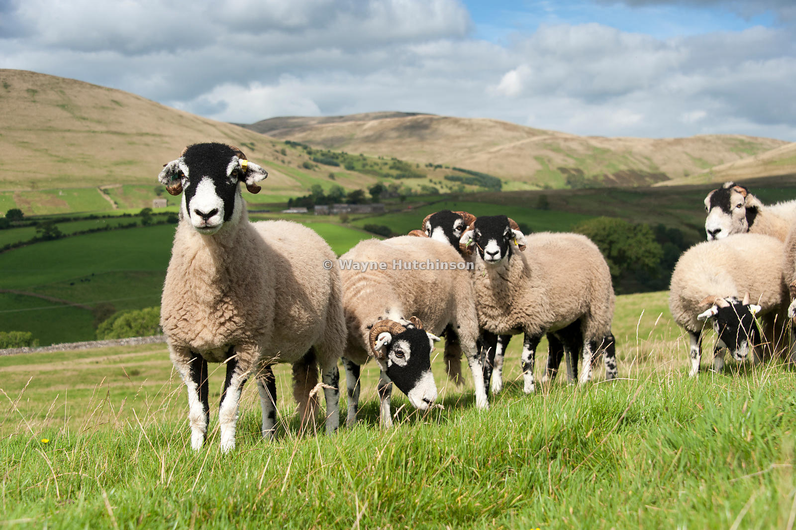 Flock of Swaledale sheep in an upland pasture, with Howgill fells in the background. Cumbria, UK