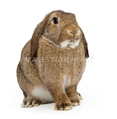 Brown Lop-earred Rabbit Isolated on White