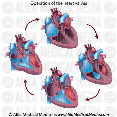 Heart valves operation
