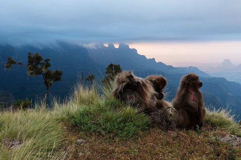 Grooming Gelada Baboons on the Edge of a Cliff at Sunset