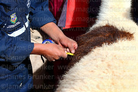 Measuring the wool length of a llama that has been selected to take part in competition, Curahuara de Carangas, Bolivia