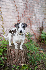 Small mixed breed dog on tree stump