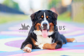 bernese mountain dog lying down on pastel colored painted sidewarlk