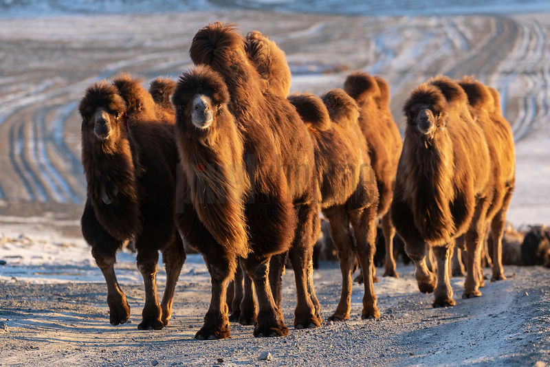 Bactrian Camels Head up a Mountain Pass at Sunrise