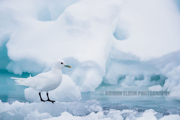 Ivory gull standing on ice