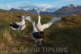 Wandering Albatross Diomeda exulans in courtship display around display nest on Albatross Island, Bay of Isles, South Georgia
