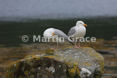 Two European Herring Gulls (Larus argentatus), one preening, Isle of Mull, Scotland