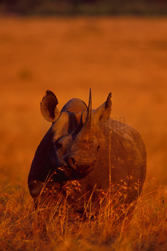 Portrait of a Black Rhino in Late Afternoon Light