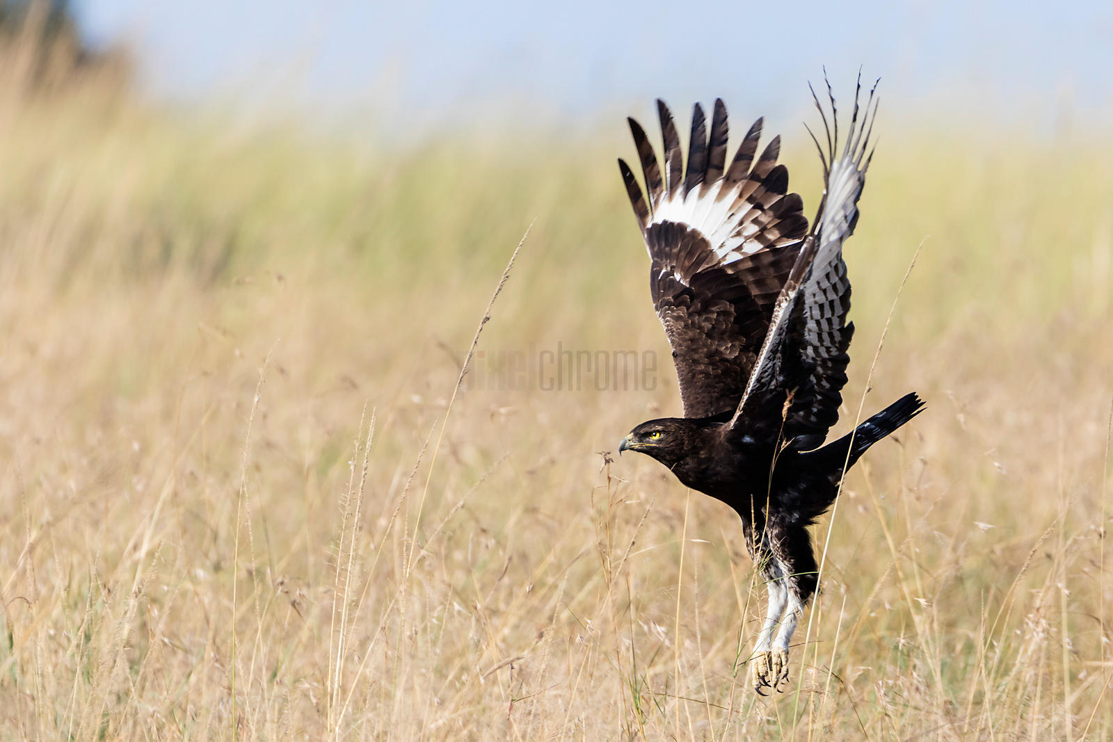 Long Crested Eagle Takes off from the Tall Grass
