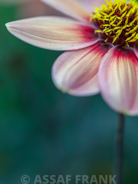 Close-up of Dahlia flower