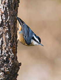 Red-breasted Nuthatch Sitta canadensis New Mexico USA January