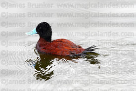 Adult male Andean Ruddy duck (Oxyura jamaicensis ferruginea)