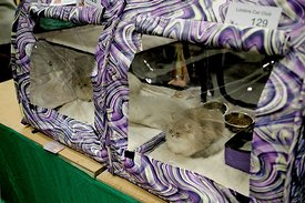 Cat in a cage at catshow | kat in een kooi tijdens kattenshow