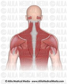 Upper back and neck muscle superficial.