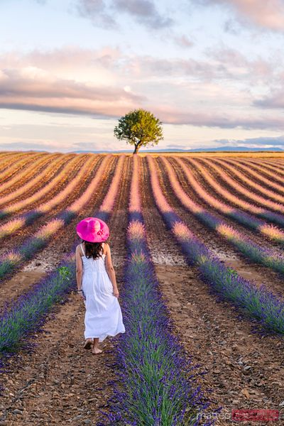 Woman walking in the lavender, Valensole, Provence, France