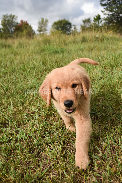 Golden Retriever Puppy Walking Outside