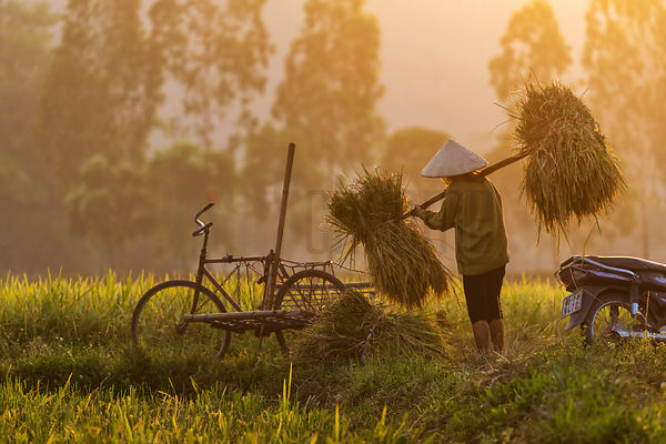 Vietnamese Rice Worker Carrying Harvested Rice
