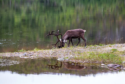 Male reindeer in the northern most point of Finland