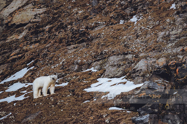 Polar bear in almost snowless landscape