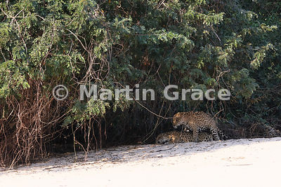 Female Jaguar 'Hunter' and male 'Hero' (Panthera onca) mate, Three Brothers River, North Pantanal, Mato Grosso, Brazil. Image...