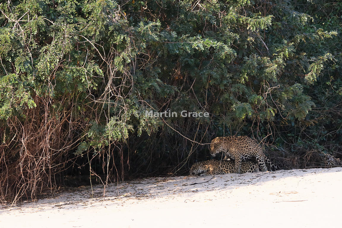 Martin Grace Photography | Female Jaguar 'Hunter' and male