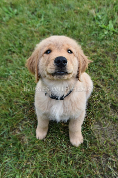 Golden Retriever Puppy Sitting in Grass Smiling