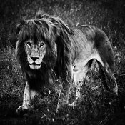 00134-Lion_walking_through_the_grass_Tanzania_2018_Laurent_Baheux